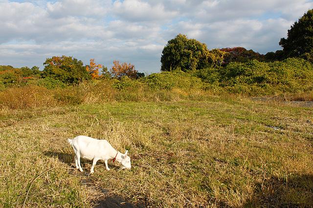 ヤギのいる風景